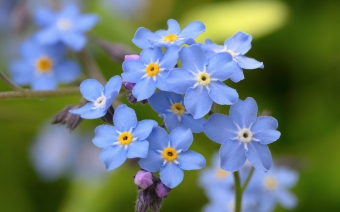 Photo myosotis